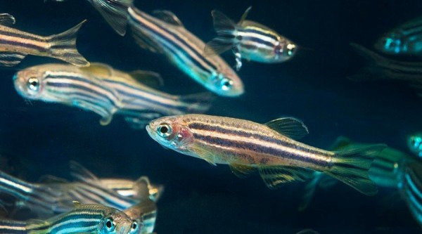 Zebrafish1-small